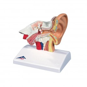 Modèle d'oreille de bureau, agrandi 1,5 fois
