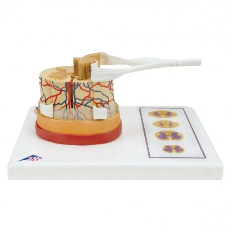 Moelle épinière avec extrémités des nerfs