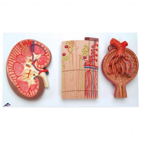 Coupe du rein, néphron, vaisseaux sanguins et corpuscules ré