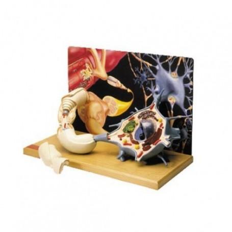 Diorama du moto-neurone