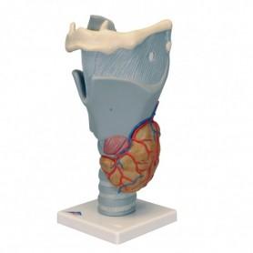 Larynx fonctionnel, agrandi 2,5 fois