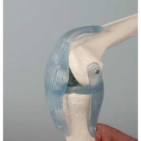 Articulation de genou avec ligaments