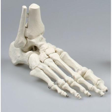 squelette de pied