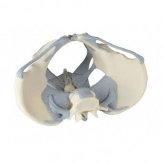 Modèle de bassin féminin avec ligaments erler zimmer
