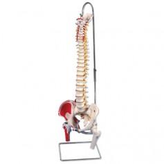 Colonne vertébrale classique flexible avec moignon de femur
