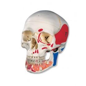 Crâne classique avec mandibule ouverte et peinte, en 3 parti