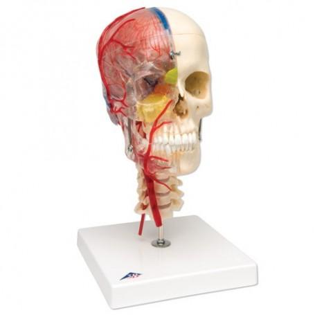Crâne didactique de luxe, 7 parties en resine