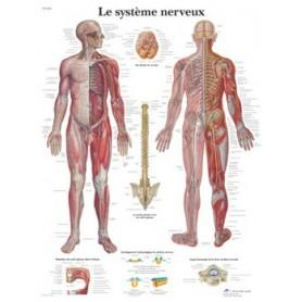 Planche anatomique du système nerveux