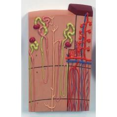 Néphron avec vaisseaux sanguins, agrandi 120 fois