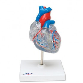 Coeur classique avec système de conduction
