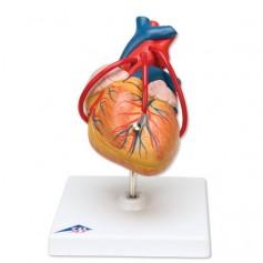 Coeur classique avec thymus, en 3 parties