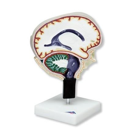 Circulation du liquide cérébro-spinal