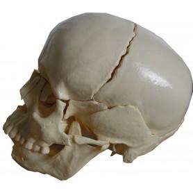 Crâne articulé 22 pcs eco