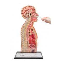 Modèle d'intubation nasogastrique